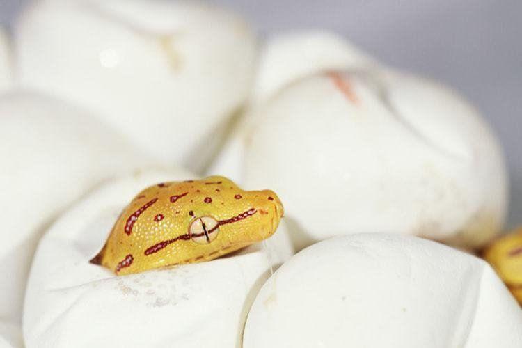 Chocadeira para répteis Rcom Reptile Pro 90