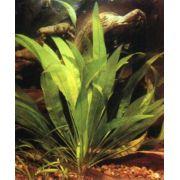 Planta Echinodorus bleheri