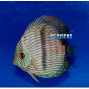 Acara Disco Heckel Blue Face Selvagem 10 a 11 cm