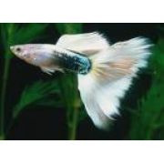 Lebiste - Guppy German White ( Casal )