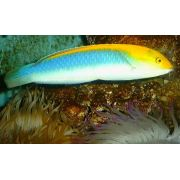 Wrasse cianocefalus ( Halichoeres cyanocephalus ) 6 a 8 cm