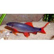 Labeo Frenatus 4 a 5 cm