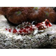 Blenny Scooter Red  (Synchiropus Ocellatus)  3 a 4 cm