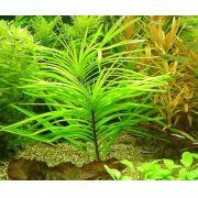 Planta Eichhornia azurea
