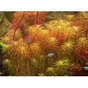 Planta Eusteralis Stellata