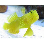Goby Yellow Watchman 4 a 5 cm