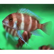 Cynotilapia Frontosa Red  3 a 4 cm