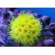 Soma Fish Coral Goniopora amarela ( 40177 )