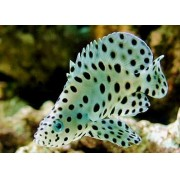 Grouper Panther 5 a 6 cm