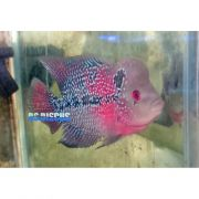 FlowerHorn Red Dragon 7 a 8 cm