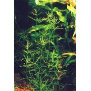 Planta Bacopa cf. Reflexa