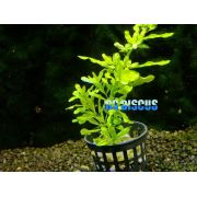 Planta Ludwigia Inclinata Green