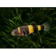 Abelhinha Bumblebee Goby 1 a 2 cm