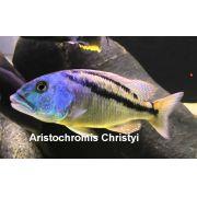 Aristochromis christyi 2 a 3 cm (NOVIDADE)