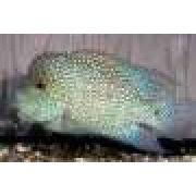 Cichlasoma Texas Blue 7 a 8 cm