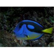 Tang Blue Yellow Belly Tiny 3 cm