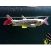 Chalceus Yellow Finned  4 a 6 cm