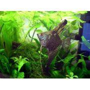 Acara Bandeira Leopardo 2 a 4 cm
