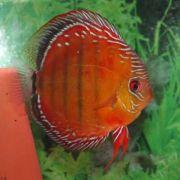 Acara Disco Red Alenquer Selvagem 12 a 13 cm (Novidade)
