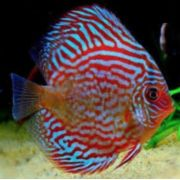 Acara Disco Red Turqueza  4 a 5 cm
