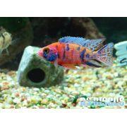 Aulonocara Nyassae Five Color  5 a 6 cm (NOVIDADE)