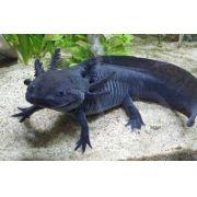 Axolote Black 4 a 6 cm!!! (NOVIDADE)
