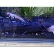 Axolote Selvagem  16 a 20 cm ( Macho ) (NOVIDADE) Foto Real do animal a venda