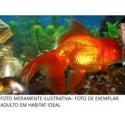 Kinguio Oranda Red 4 a 5 cm