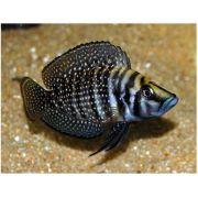 Lamprologus Calvus Black 4 a 5 cm (Novidade)
