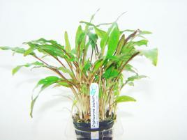 Planta Cryptocoryne beckettii