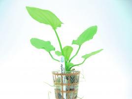 Planta Echinodorus macrophyllus