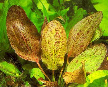 Planta Echinodorus ozelot