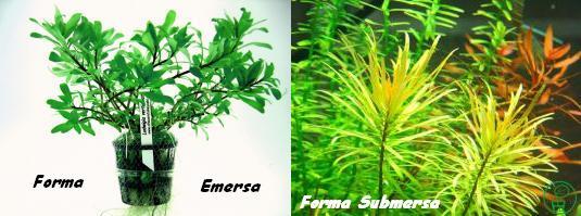 Planta Ludwigia inclinata Var. verticillata - Cuba