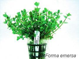 Planta Rotala macrandra - Green