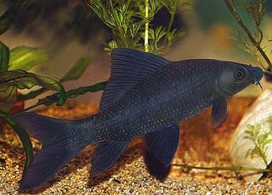 Labeo Negro - 5 a 6 cm