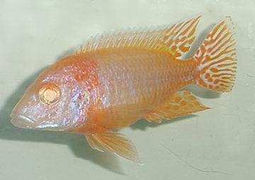 Aulonocara Albina Super Red. 2 a 4 cm