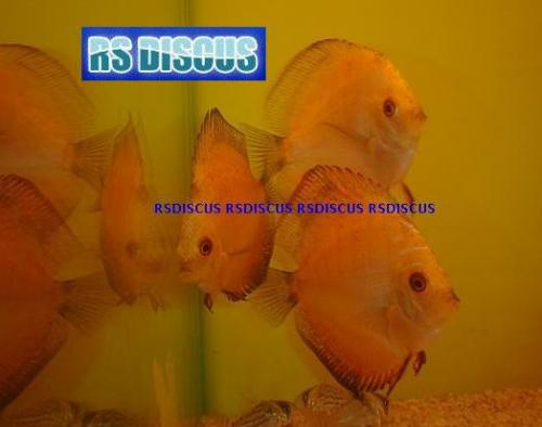 Acara Disco Super Red Malboro 5 a 6 cm