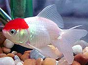 Kinguio Oranda Red Cap 4 a 5 cm