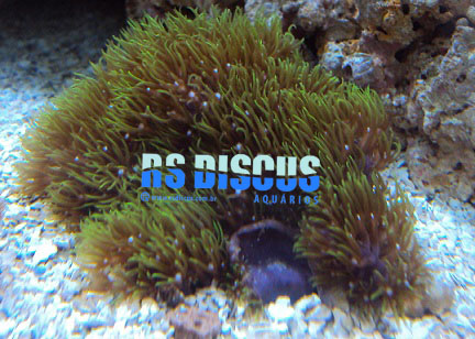 Star Polyp Carpet Green Coral ( Muda )