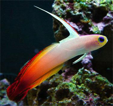 Goby Firefish (Nemateleotris magnifica) 4 a 5 cm