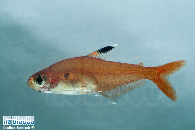 *Tetra Red Crystal  2 a 3 cm
