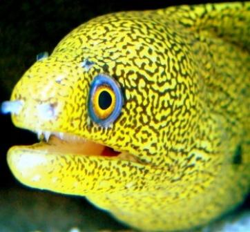 Moreia Dourada (Gymnothorax miliaris)