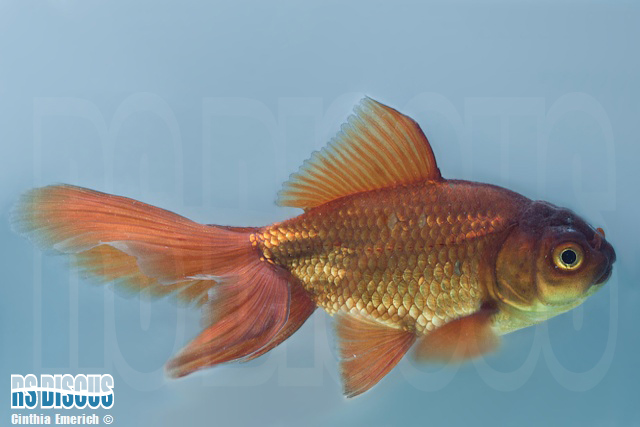 Kinguio Oranda Chocolate 6 a 7 cm