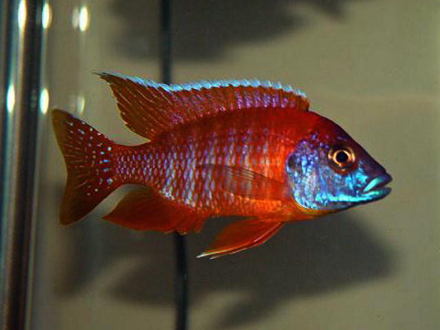 Aulonocara Red Peacock 5 a 6 cm