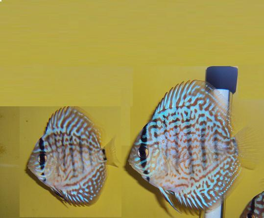 Acara Disco Asian Leopard 7 a 8 cm