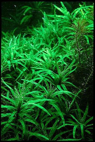 Planta Eichhornia diversifolia