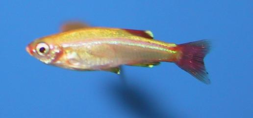 *Tetra Tanicts Gold  1 a 2 cm