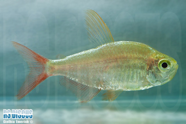 Tetra Colombiano Gold  3 a 4 cm ( Lote c/ 6 Unidades )