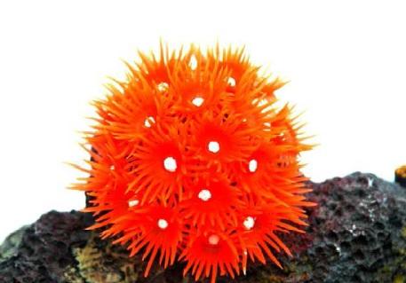Soma Fish Coral Goniopora vermelha ( 40196 )