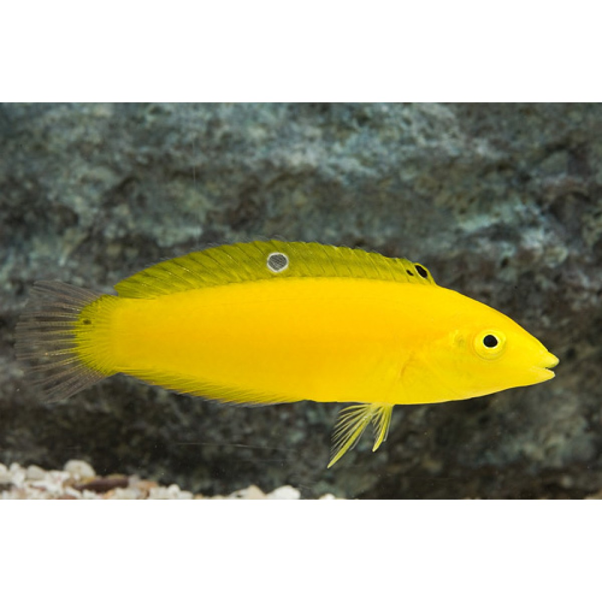 Wrasse Yellow Coris 4 a 5 cm (NOVO)